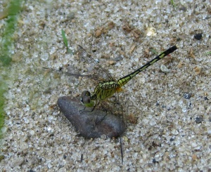 dragon-fly-on-rock
