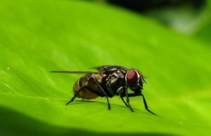macro-lalat